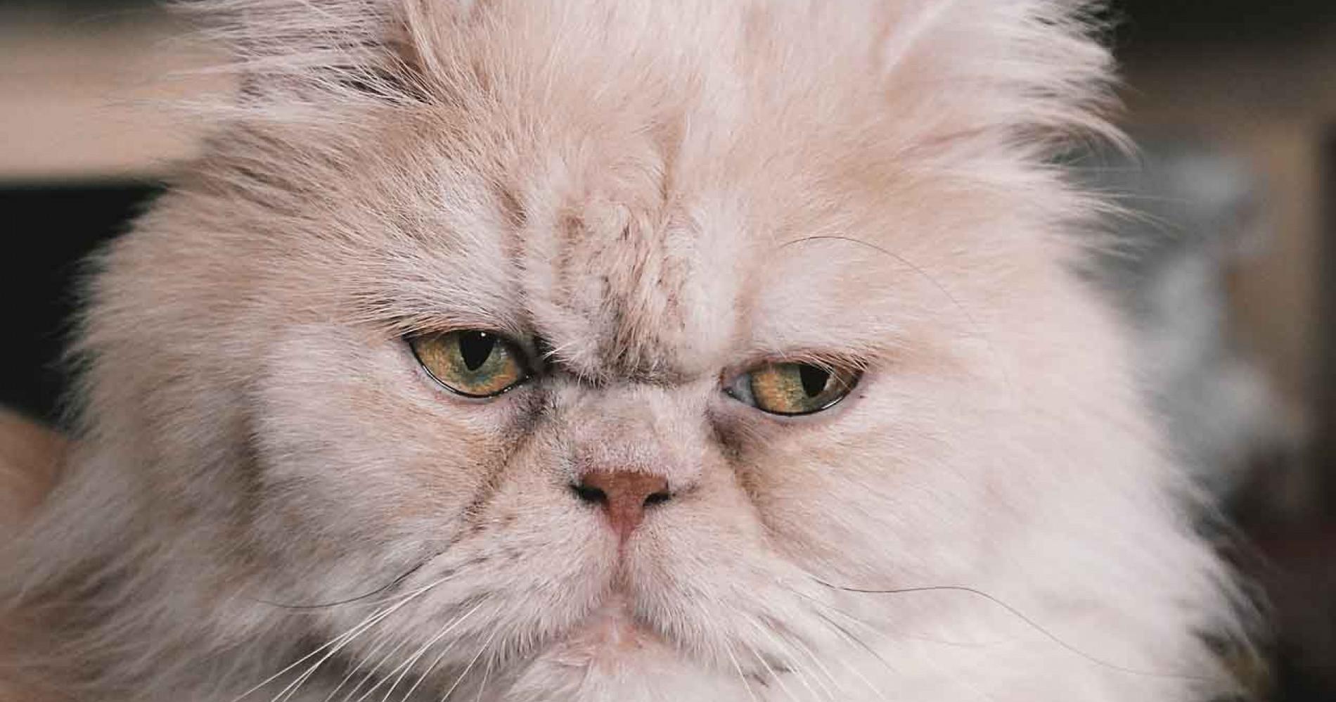 Kucing Persia Harga (Sumber: Pixabay.com)