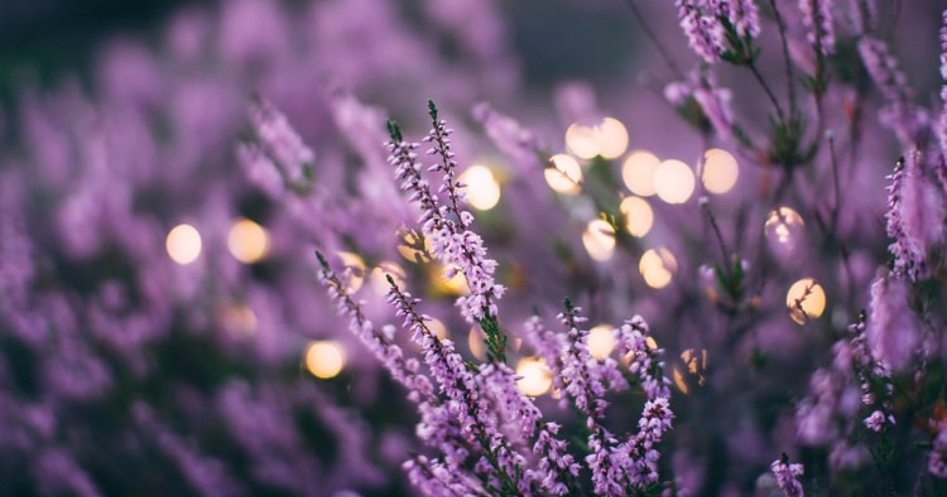 Lavender (Sumber: Unsplash)